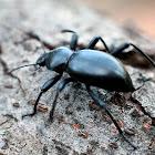California Broad-necked Darkling Beetle