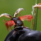 Dogwood Calligrapher Beetle
