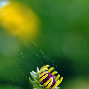 Oh what a tangled web by Barbara Langfeld - Nature Up Close Webs ( macro, web, arboretum, garden, flower,  )