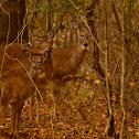 Virginia White Tail Deer