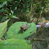 Periodical Cicada
