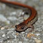 Northern zigzag salamander (zigzag phase)