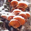 Orange Mock Oyster (Mushroom)