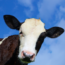 Crazy Cow Simulator FREE file APK Free for PC, smart TV Download