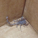 California Common Scorpion