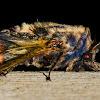 Goat moth (♂, ♀)