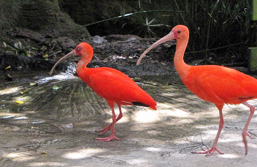 Two orange-colored ibis at Elbow Beach, Bermuda.