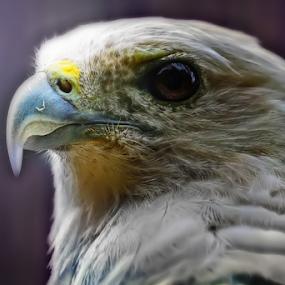eagle  by Aris Susanto - Animals Birds