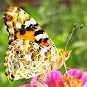 Painted Lady or Cosmopolitan