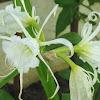 Peruvian Daffodil or Spider Lily