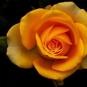 Flower by Ibe Lase - Flowers Single Flower (  )