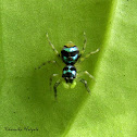Metallic Banded Jumping Spider