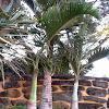 Bottle Palm Mauritius