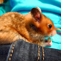 Syrian hamster Coco