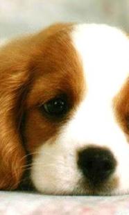 可愛的小狗壁紙