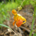 Spotted  Jewelweed; Touch-me-not
