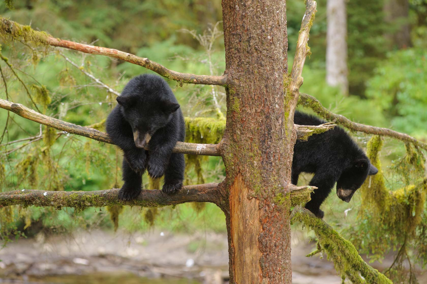 Black Bear Cubs, Anan Creek, Alaska