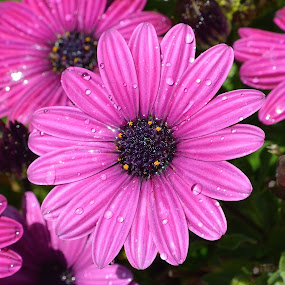 Sprinkle Lightly With Water by Ed Hanson - Flowers Flower Gardens ( water, purple, daisy, flower, close-up )
