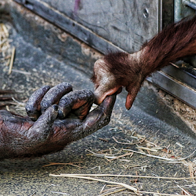 hold me! by Axel K. Böttcher - Animals Other Mammals ( hand, imprisoned, orang-utan, emotion )