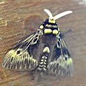 Flannell Moth