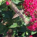 White-lined Sphinx (Hummingbird Moth)