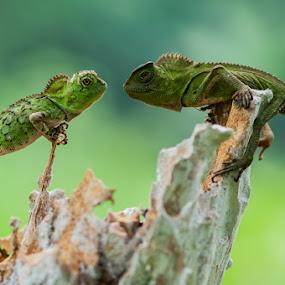 Face To Face by Andri Priyadi - Animals Reptiles ( macros, reptiles, macro, animals, indonesia, nikkor, forest dragon, nikon, reptile, animal )