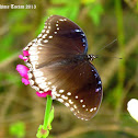 Great Eggfly (Female)