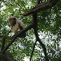 Spotted Wood Owl chick