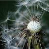 Rare Colorado Dandelion