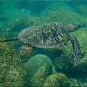 Green sea turtle, honu