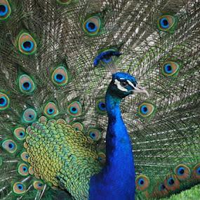 The Peacock at the Norfolk Zoo! by Jeannie Harrington-Jackson - Animals Birds