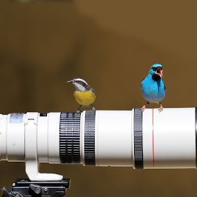 Blue and Yellow! by Itamar Campos - Animals Birds ( blue dacnis, saíra azul, male, bananaquit, cambacica,  )