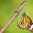 Common Tiger (虎斑蝶)