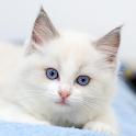 Рэгдолл кошки обои icon