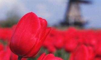 Screenshot of Tulips Wallpapers