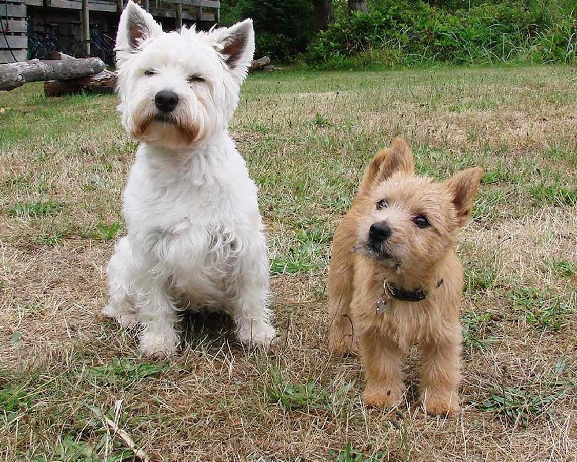R T Pointer Norwich Norwich Terrier Wallpa...