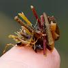 Caddis fly (larvae)