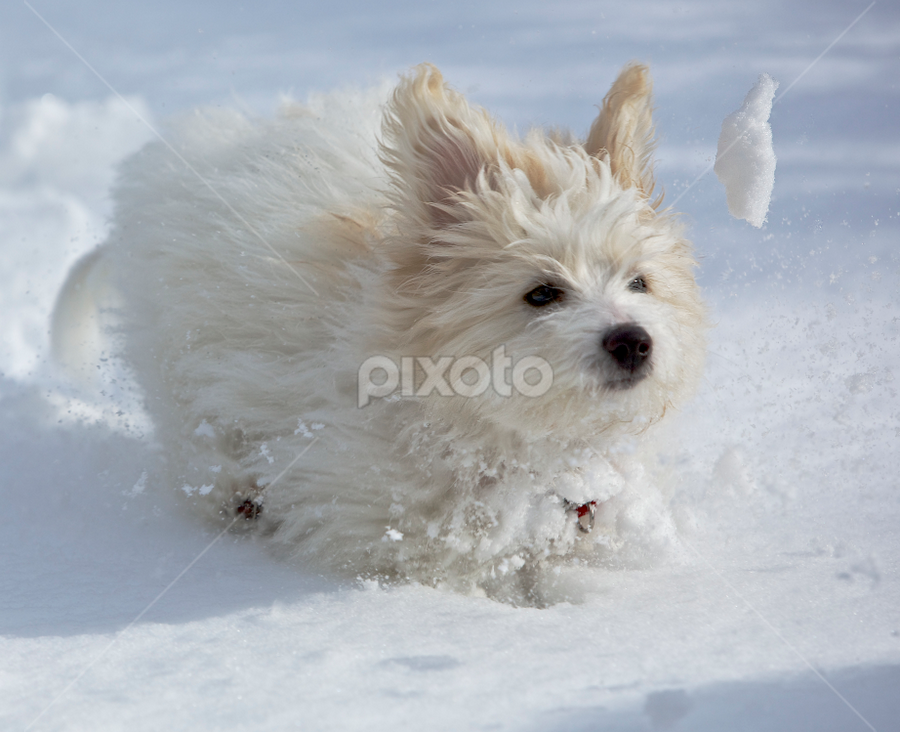 by Jeannette Thalmann-Bendeth - Animals - Dogs Puppies ( playing, face, winter, snow, ears, puppy, dog, coton de tulear, running, eyes,  )