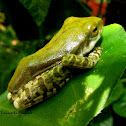 Common hour-glass tree frog