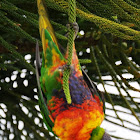 Rainbow Lorikeet (eastern form)