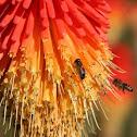 Honey bees on Red Hot Poker flower
