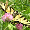 Canadian Tiger Swallowtail, (female).