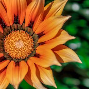 my sunny flower by José M G Pereira - Flowers Single Flower ( orange, orange flower, macro, single flower, close up, flower, closeup,  )