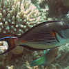 Red Sea Surgeonfish