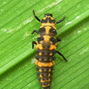 Pink Spotted Lady Beetle Larva