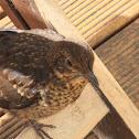Common Blackbird (fledgling)