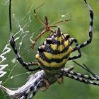 Common Garden Orb Web Spider