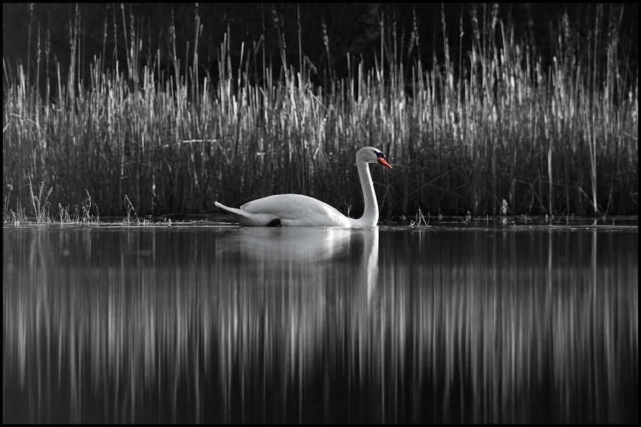 Single by Michal Snopek - Animals Birds ( animals, nature, black and white, swan, landscape )