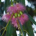 Eucalyptus flowers(Mugga red iron bark)) bark