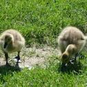 Canada goose :-)
